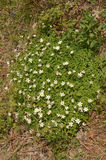 Ξύλινο Anemone (Α nemorosa) Στοκ εικόνες με δικαίωμα ελεύθερης χρήσης
