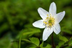 Ξύλινο anemone, κινηματογράφηση σε πρώτο πλάνο του άνθους, διάστημα αντιγράφων Στοκ Φωτογραφία