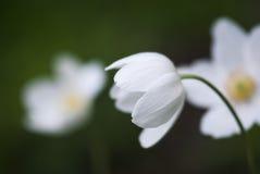 Ξύλινο anemone Στοκ Φωτογραφία