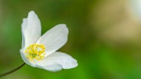 Ξύλινο anemone Στοκ φωτογραφία με δικαίωμα ελεύθερης χρήσης