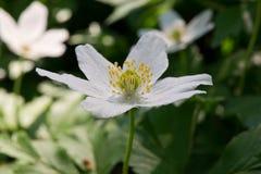 Ξύλινο anemone Στοκ Φωτογραφίες