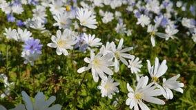 Ξύλινο anemone Στοκ εικόνα με δικαίωμα ελεύθερης χρήσης
