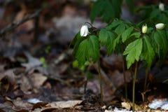 Ξύλινο anemone Στοκ Εικόνα