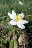 Ξύλινο anemone (nemorosa Anemone) Στοκ φωτογραφία με δικαίωμα ελεύθερης χρήσης