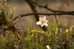 Ξύλινο anemone (nemorosa anemone) Στοκ φωτογραφίες με δικαίωμα ελεύθερης χρήσης