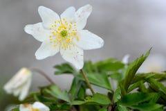 Ξύλινο anemone (nemorosa anemone) Στοκ Εικόνες