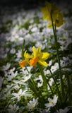 Ξύλινο anemone (nemorosa Anemone) .GN Στοκ Εικόνες