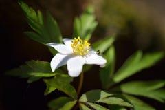 Ξύλινο nemorosa Anemone anemone Στοκ Εικόνες