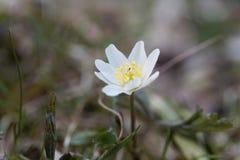 Ξύλινο nemorosa Anemone anemone Στοκ φωτογραφία με δικαίωμα ελεύθερης χρήσης