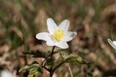Ξύλινο nemorosa Anemone anemone Στοκ εικόνα με δικαίωμα ελεύθερης χρήσης
