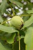 Ξύλο καρυδιάς στο δέντρο Στοκ Εικόνες