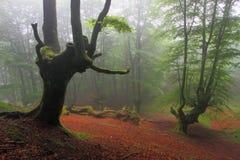 Ξύλο οξιών της Misty Orozko (Biscay, βασκική χώρα) Στοκ εικόνες με δικαίωμα ελεύθερης χρήσης