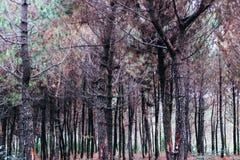 Ξύλο πεύκων Στοκ φωτογραφίες με δικαίωμα ελεύθερης χρήσης