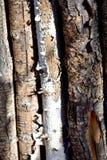 Ξύλο της Aspen Στοκ εικόνες με δικαίωμα ελεύθερης χρήσης