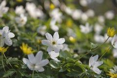 Ξύλο anemones που ανθίζει την άνοιξη Στοκ Εικόνες