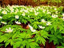 Ξύλο anemones στο άνθος Nemorosa & x28 anemone ανθίσματος καλά - γνωστός ως windflower ή ή μυρωδιά fox& x29  Στοκ Εικόνες