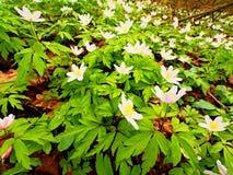 Ξύλο anemones στο άνθος Nemorosa & x28 anemone ανθίσματος καλά - γνωστός ως windflower ή ή μυρωδιά fox& x29  Στοκ φωτογραφίες με δικαίωμα ελεύθερης χρήσης
