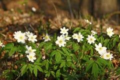 Ξύλο anemones (nemorosa Anemone) Στοκ εικόνα με δικαίωμα ελεύθερης χρήσης