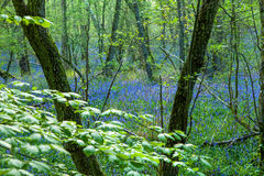 Ξύλο Bluebell Στοκ εικόνα με δικαίωμα ελεύθερης χρήσης