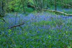 Ξύλο Bluebell Στοκ φωτογραφίες με δικαίωμα ελεύθερης χρήσης
