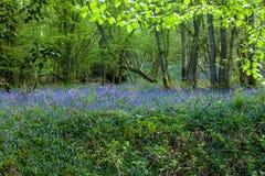 Ξύλο Bluebell Στοκ Εικόνα
