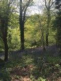 Ξύλο Bluebell Στοκ Εικόνες