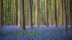 Ξύλο Bluebell Hallerbos Στοκ φωτογραφίες με δικαίωμα ελεύθερης χρήσης