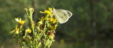 Ξύλο Sheepsbridge: Πεταλούδα Στοκ Φωτογραφίες