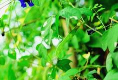 λοβός του μπιζελιού πεταλούδων Στοκ φωτογραφία με δικαίωμα ελεύθερης χρήσης