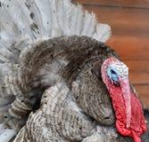 Ογκώδης Τουρκία έτοιμη για την ημέρα των ευχαριστιών Στοκ Φωτογραφία