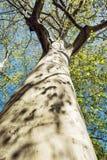 Ογκώδες αμερικανικό sycamore δέντρο, κάθετη σύνθεση Στοκ φωτογραφία με δικαίωμα ελεύθερης χρήσης