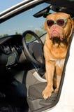 οδηγός σκυλιών αυτοκινήτων μέσα Στοκ φωτογραφία με δικαίωμα ελεύθερης χρήσης
