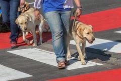 Οδηγός σκυλιών για τη εκπαίδευση αλόγου σε περιστροφές Στοκ φωτογραφίες με δικαίωμα ελεύθερης χρήσης