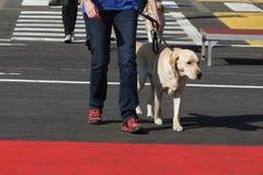 Οδηγός σκυλιών για τη εκπαίδευση αλόγου σε περιστροφές Στοκ Εικόνες
