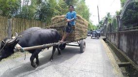 Οδηγώντας κάρρο σανού ατόμων που τραβιέται από carabao τους βούβαλους νερού απόθεμα βίντεο
