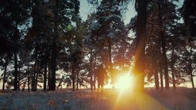 Οδοιπόρος με το σακίδιο πλάτης που περπατά στο δάσος πεύκων που καλύπτεται με το φρέσκο βαθύ χιόνι στο ηλιοβασίλεμα Χαμηλή άποψη  απόθεμα βίντεο