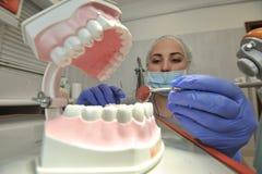 Οδοντίατρος γιατρών με το πρότυπο σαγονιών Στοκ Εικόνα