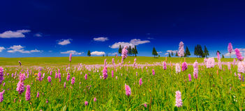Οδοντώστε τα άγρια λουλούδια σε ένα τοπίο λιβαδιών Στοκ Φωτογραφίες