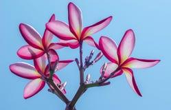 Οδοντώστε το λουλούδι Στοκ Εικόνες