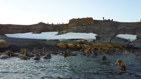 Οδόβαινοι και οικολόγοι ανθρώπων στην ακτή της αρκτικής ωκεάνιας άποψης aero copter φιλμ μικρού μήκους