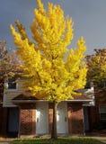 Οδός φθινοπώρου με τα δέντρα σφενδάμνου πτώσης που παρουσιάζουν το ζωηρόχρωμο φύλλωμα Τορόντο, Καναδάς Στοκ εικόνα με δικαίωμα ελεύθερης χρήσης