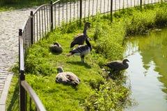 Οδός χήνων πουλιών στο ζωολογικό κήπο στοκ φωτογραφία με δικαίωμα ελεύθερης χρήσης