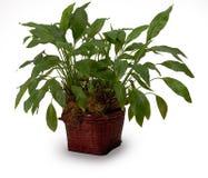 οικιακό φυτό Στοκ φωτογραφία με δικαίωμα ελεύθερης χρήσης