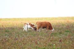 Οικογένεια αγελάδων Στοκ Φωτογραφία