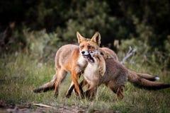 Οικογένεια αλεπούδων Στοκ εικόνες με δικαίωμα ελεύθερης χρήσης