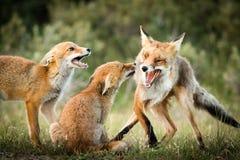Οικογένεια αλεπούδων Στοκ Εικόνες