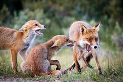 Οικογένεια αλεπούδων Στοκ φωτογραφίες με δικαίωμα ελεύθερης χρήσης