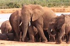Οικογένεια ελεφάντων σε Waterhole στοκ εικόνες με δικαίωμα ελεύθερης χρήσης