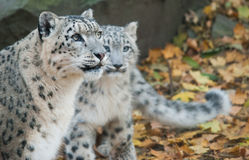 Οικογένεια λεοπαρδάλεων χιονιού Στοκ Φωτογραφίες