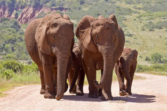 Οικογένεια ελεφάντων που περπατά σε έναν δρόμο αμμοχάλικου Στοκ Εικόνες